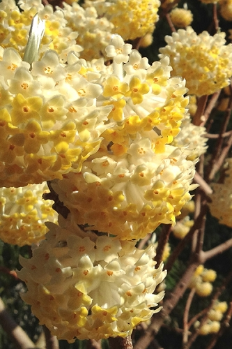Snow Cream Edgeworthia chrysantha - Paper Bush