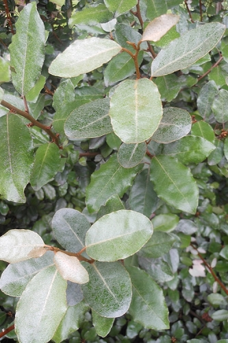 Fruitland Elaeagnus - Silverberry - 1 Gallon Pot