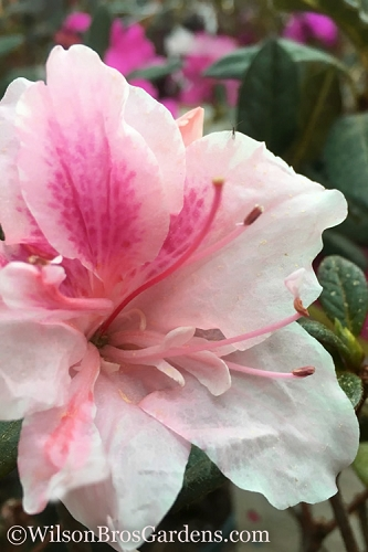 Autumn Chiffon Encore Azalea - 3 Gallon Pot