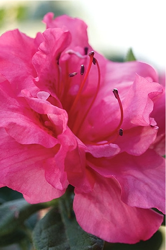 Autumn Rouge Encore Azalea - 1 Gallon Pot