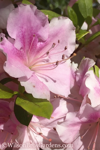 Autumn Sweetheart Encore Azalea