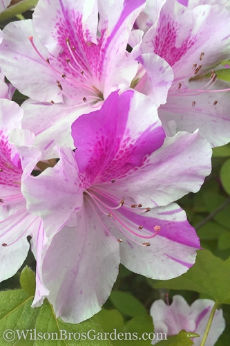 Autumn Twist Encore Azalea - 2 Gallon Pot