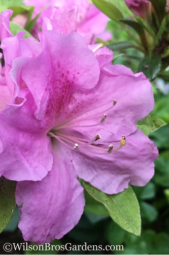Autumn Lilac Encore Azalea - 1 Gallon Pot