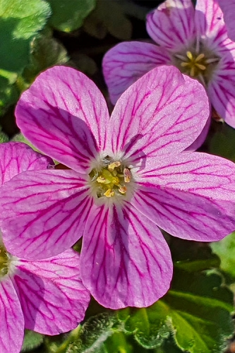 Pink Dwarf Heronsbill (Erodium x variabile 'Bishop's Form') - 5 Pack of Quart Pots