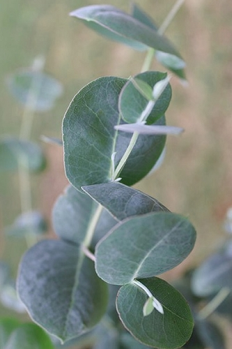 Big O Cold Hardy Eucalyptus Tree (Eucalyptus neglecta) - Quart Pot
