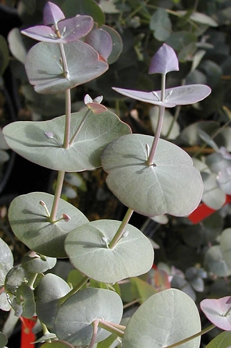 Luna Cold Hardy Eucalyptus Tree (Eucalyptus perriniana) - 3 Gallon Pot