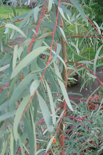 Angus Cold Hardy Willow Leaf Eucalyptus Tree - Eucalyptus nicholii