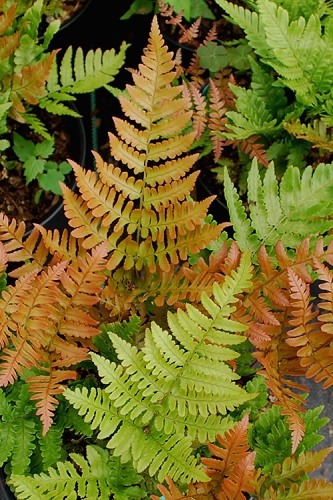 Autumn Fern - Dryopteris erythrosora - 1 Gallon