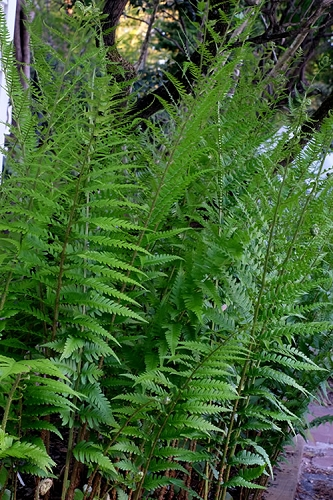 Dixie Wood Fern - Dryopteris australis