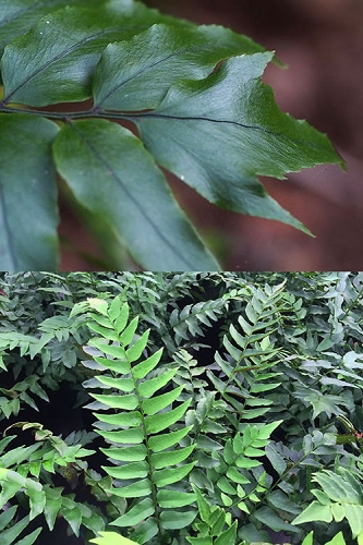 Fortunes Japanese Holly Fern