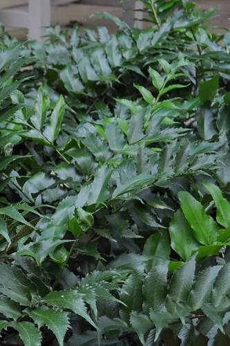 Holly Fern - Cyrtomium falcatum 'Rochfordianum'