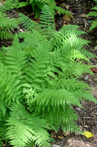 Southern Wood Fern - Thelypteris kunthii - 2.5 Quart Pot