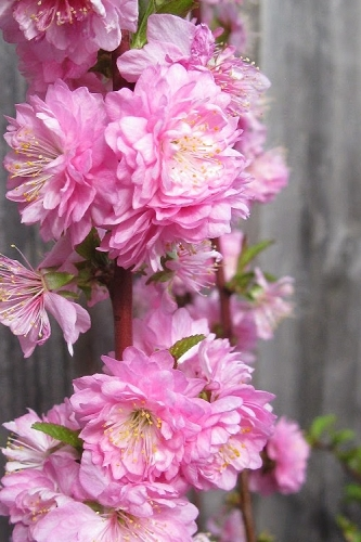 Pink Dwarf Flowering Almond - 2 Gallon Pot
