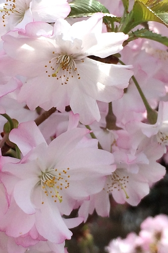Autumnalis Fall Blooming Cherry Tree - 5 Gallon Pot