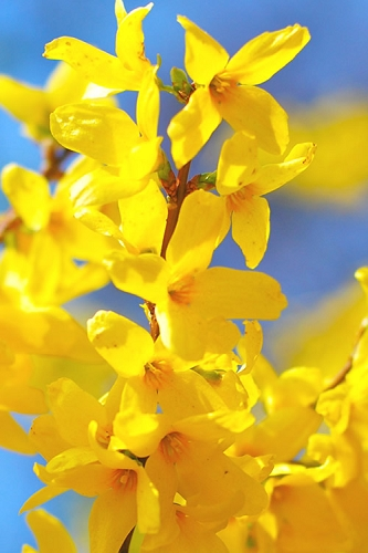 Lynwood Gold Yellow Bells Forsythia - 1 Gallon Pot