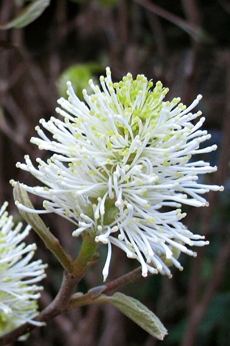 Mount Airy Fothergilla - 1 Gallon Pot