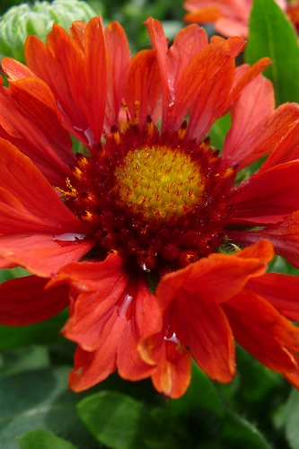 Celebration Gaillardia - 2.5 Quart Pot