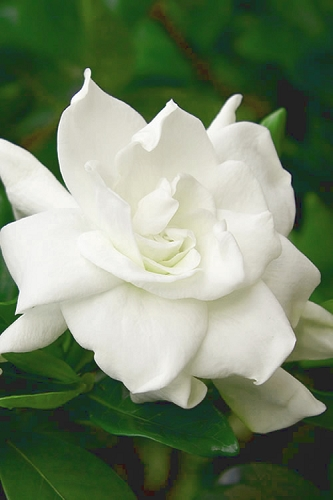 August Beauty Gardenia - 1 Gallon Pot