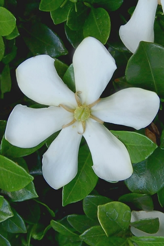 Pinwheel Gardenia - 1 Gallon Pot
