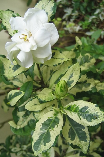 Variegated Gardenia - 1 Gallon Pot