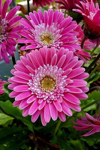 Garvinea Sweet Surprise Gerbera Daisy -  1 Gallon Pot