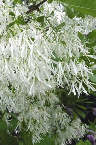 Grancy Graybeard - White Fringe Tree