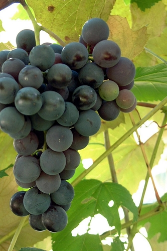 Black Spanish Bunch Grape Vine - 3 Gallon Pot