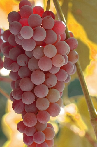Reliance Red Seedless Grape