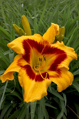 Tiger Swirl Daylily (Reblooming) - 1 Gallon Pot