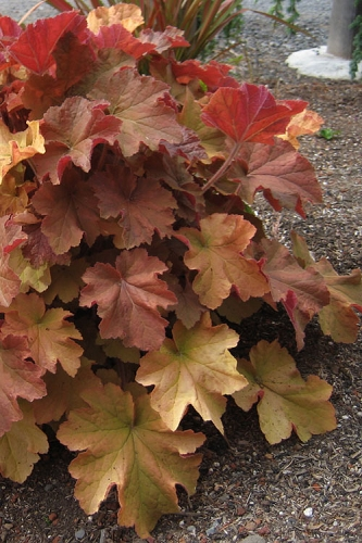 Caramel Heuchera (Villosa Hybrid) - 1 Gallon Pot
