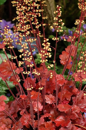 Fire Chief Heuchera Coral Bells - Quart Pot