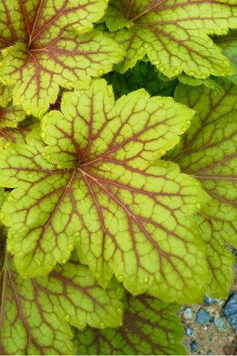 Electric Lime Heuchera - Coral Bells - 2.5 Quart Pot