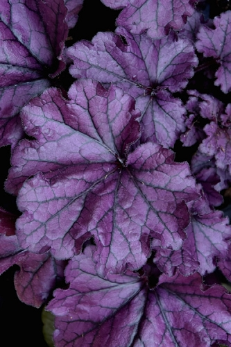 Forever Purple Heuchera Coral Bells - Quart Pot - 10 Count Flat of Quart Pots