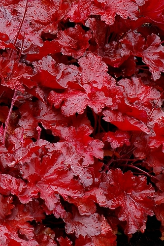 Forever Red Heuchera - Coral Bells - 1 Gallon Pot