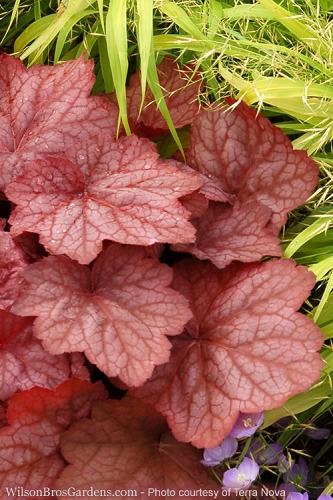 Georgia Peach Heuchera - Coral Bells - Quart Pot