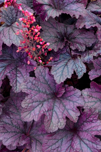 Grape Timeless Heuchera (Coral Bells) - 5 Pack of Quart Pots