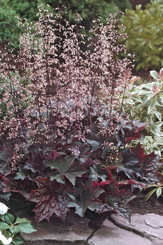 Palace Purple Heuchera - Coral Bells