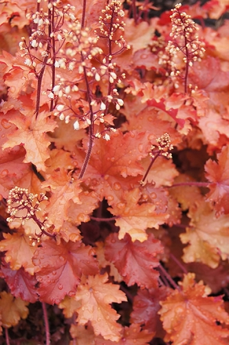 Peach Crisp Heuchera - Coral Bells - Quart Pot
