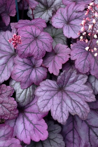Sugar Plum Heuchera - Coral Bells - Quart Pot