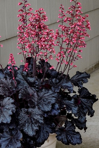 Timeless Night Heuchera (Coral Bells) - 5 Pack Quart Pots