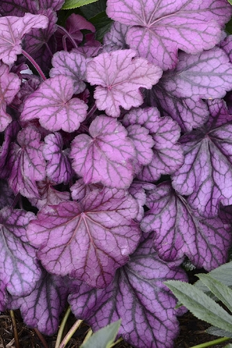 Wild Rose Heuchera (Coral Bells) - 1 Gallon Pot