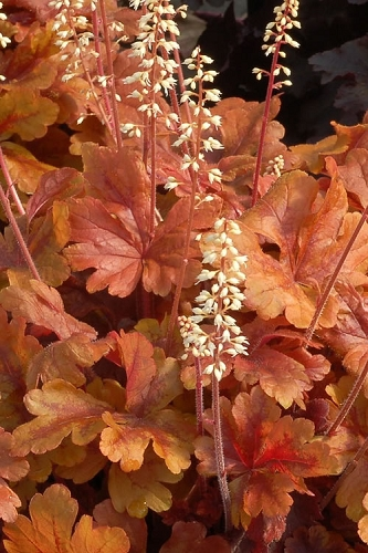 Butter Rum Heucherella - Foamy Bells