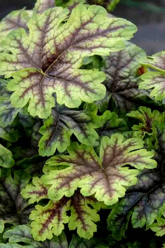 Tapestry Heucherella - Foamy Bells