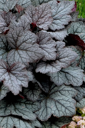 Twilight Heucherella - Foamy Bells