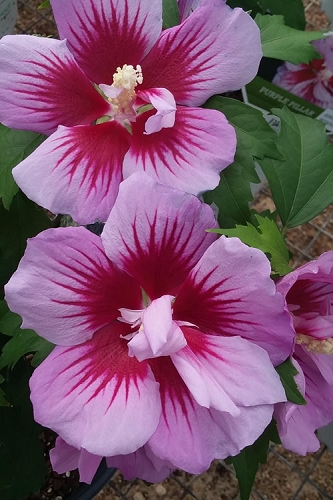 Purple Pillar Rose of Sharon - Hibiscus - Althea