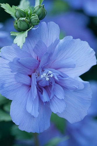 Blue Chiffon Rose of Sharon - 3 Gallon Pot