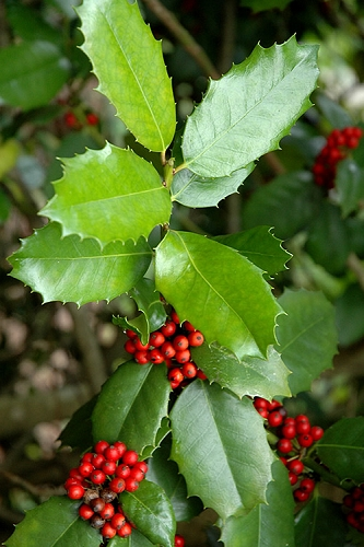 Emily Bruner Pyramidal Holly