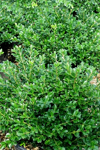 Green Luster Japanese Holly - 1 Gallon Plant