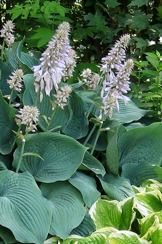 Blue Angel Hosta Lily - 10 Count Flat of Quart Pots