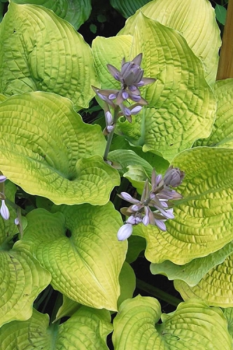 Coast To Coast Hosta Lily
